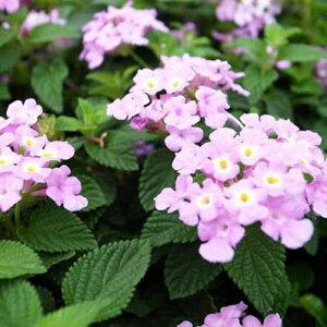 コバノランタナ パープル 苗 紫 ピンク ハンギングや寄せ植えにも合わせやすい植物 花芽付 夏の花 おしゃれ