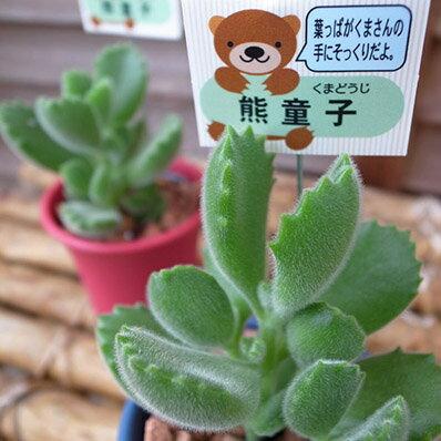 多肉植物 熊童子コチレドン2.5号鉢 タニクショクブツ 楽天【ラッキーシール対応】