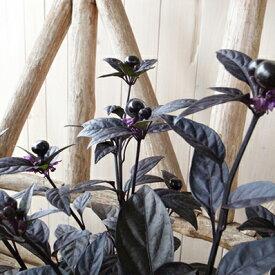 唐辛子 トウガラシ ブラックパール 3.5号苗 多年草 葉っぱも果実も黒に近い紫色の美しい植物 楽天