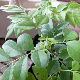 カレーリーフ カレーの木 苗 葉を摘むとカレーと柑橘の交じったような香り 高さ10cm