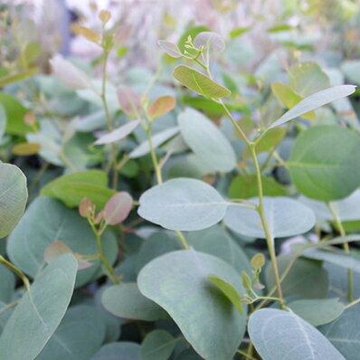 ユーカリ ポプルネア ポポラス 苗 ハート形の葉が特徴 シンボルツリーに最適 グリーン 楽天【ラッキーシール対応】
