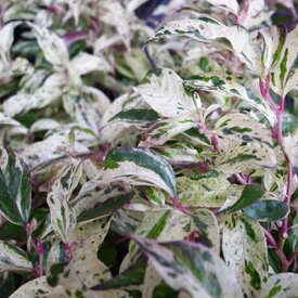 セイヨウイワナンテン レインボー 2.5号 ロングポット苗 お庭のグランドカバーや低い位置の緑として 葉の色に変化を楽しめる人気の低木