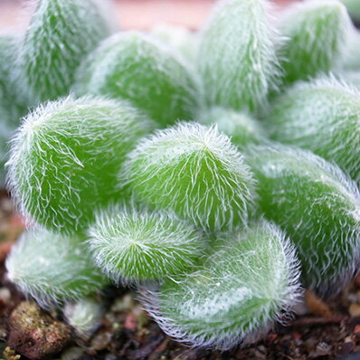 可愛い 多肉植物 毛セダム カシミアヒントニー 2.5号 タニクショクブツ グリーン【ラッキーシール対応】