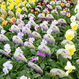 よく咲くスミレ 大苗 6株セット 秋から春にかけて咲く花 プランターや花壇にカラフルな花
