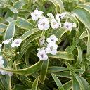 斑入りスーパーアリッサム フロスティナイト 苗 花芽付 ポット苗 長い期間楽しめる花 ホワイト 白花