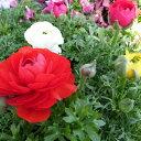 ラナンキュラス 苗 3株セット 春まで長い期間楽しめる花 花芽付ポット【ラッキーシール対応】