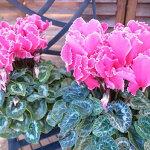 シクラメンドリームパープル5号鉢花びらが白く縁取られ美しいフリルが魅力のお花