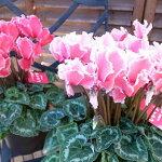 シクラメンドリームサーモンピンク5号鉢花びらが白く縁取られ美しいフリルが魅力のお花