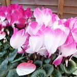 シクラメンプルマージュパープル6号鉢送料無料紫お歳暮お祝い等に喜ばれるシクラメン高さ40cm