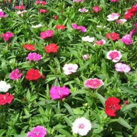 テルスター苗4株セット♪四季咲き宿根草 花壇プランターに最適 花苗 販売 通販 種類