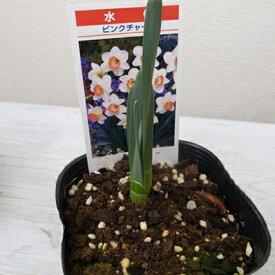 スイセン ピンクチャーム 芽出し 3.5号苗 水仙 球根植物 香りが強く豪華 ホワイト【ラッキーシール対応】
