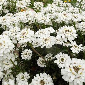 宿根イベリス苗4株セット 純白の蝶のような花が魅力 トキワナズナ イベリス センペルビレンス