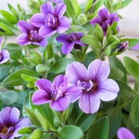 カリブラコア ティフォシー ダブル ラベンダー 紫 3.5号苗 花芽付 植物 販売 ガーデン ガーデニング パープル ペチュニア 八重咲き
