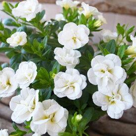 カリブラコア ティフォシー ダブル ホワイト 白 3.5号苗 花芽付 植物 販売 ガーデン ガーデニング ペチュニア 八重咲き