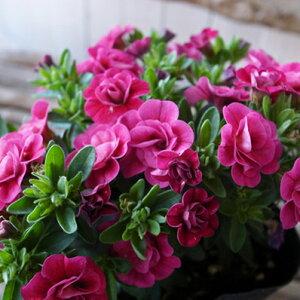 カリブラコア ティフォシー ダブル ローズピンク レッド 3.5号苗 花芽付 植物 販売 ガーデン ガーデニング 夏の花 おしゃれ ペチュニア 八重咲き