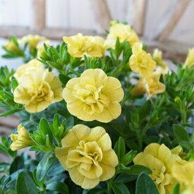 カリブラコア ティフォシー ダブル イエロー 黄色 3.5号苗 花芽付 植物 販売 ガーデン ガーデニング ペチュニア 八重咲き