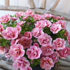カリブラコア ティフォシー ダブル ピーチイエロー 3.5号苗 ピンク 花芽付 植物 販売 ガーデン ガーデニング ペチュニア 八重咲き