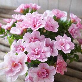 カリブラコア ティフォシー ダブル ベビーピンク 桃色 さくら 3.5号苗 花芽付 植物 販売 ガーデン ガーデニング ペチュニア 八重咲き