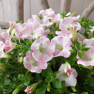 サフィニア ももいろハート 6号鉢 サントリー開発の花弁中央にももいろの星形が入る珍しい花色【ラッキーシール対応】