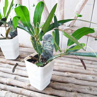 珍観葉 クロトン飛び葉3.5号鉢 テーブルに似合う観葉植物 高さ30cm クロトンノキ ヘンヨウボク【ラッキーシール対応】