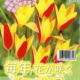 チューリップ クルシアナシンシア7球セット 植えっぱなしで毎年花が咲く ちゅーりっぷ 球根【ラッキーシール対応】