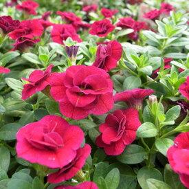 カリブラコア ティフォシー ダブル レッド 3.5号サイズ 花苗 ガーデニング 花芽付 マウンティングタイプ 夏の花 おしゃれ ペチュニア 八重咲き
