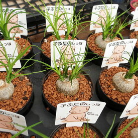 トックリラン 子ぶたのしっぽ ノリナ 3号サイズ鉢植え