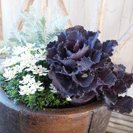 珍しい ハボタン ブラックリーフ 大苗 黒 葉牡丹 レア 3.5号サイズのポット苗 多年草