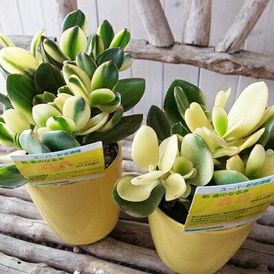 花月 金のなる木 シンシン 3.5号サイズ 鉢植え 半耐寒性多肉植物 高さは約20cmセンチ【ラッキーシール対応】