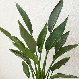 ストレリチア レギネ 送料無料 観葉植物 6号サイズ 鉢植え 高さ60cmセンチ【ラッキーシール対応】
