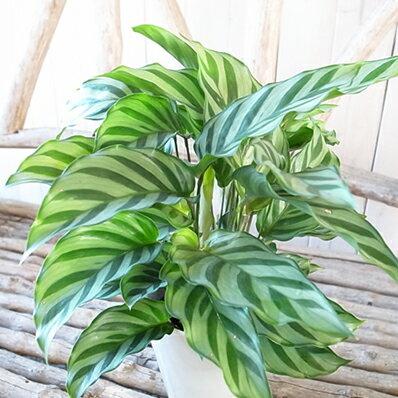 カラテア フレディ 4号サイズ 鉢植え 観葉植物 ゴシキヤヤバネショウ