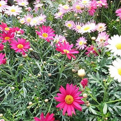 カラフル マーガレット 2鉢セット 5号サイズ 鉢植え 花