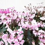 シクラメン天使のはねホワイトピンク系5号サイズ鉢植え新品種!多年草球根鉢花