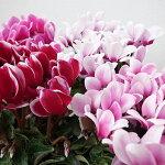 ミニシクラメン2鉢セット3.5号サイズ鉢植え多年草球根鉢花
