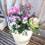 お正月ピンク系寄せ植え5株セット送料無料ギョリュウバイミスキャンタスハボタン葉牡丹ビオラアリッサム
