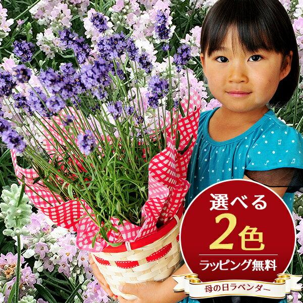 ラベンダー 5号サイズ 鉢花 鉢植え 母の日 早割 ボリューム特大ラベンダー 送料無料 素敵な香りとブルーに染まる ラッピング リボン 花 母の日ギフト ハーブ 母の日プレゼント あす楽対応