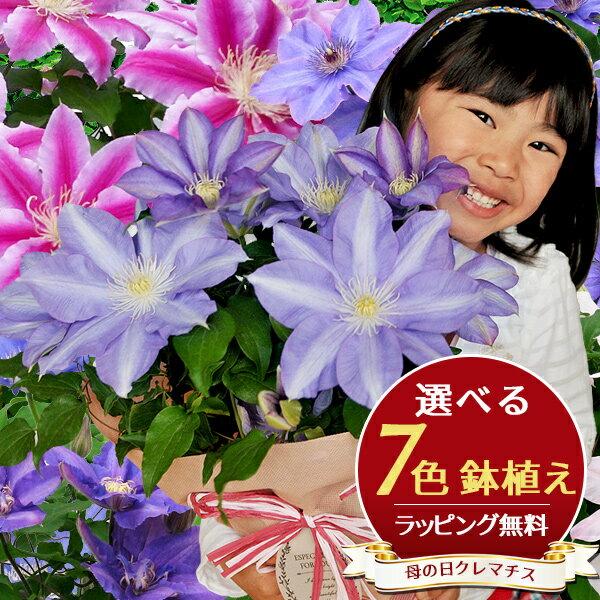 7色から選べる クレマチス 5号サイズ 鉢植え 母の日 早割 プレゼント 特大ボリューム満点 送料無料 鉢花 母の日ギフトフラワー 花 鉢植え ギフト母の日 送料込 母の日