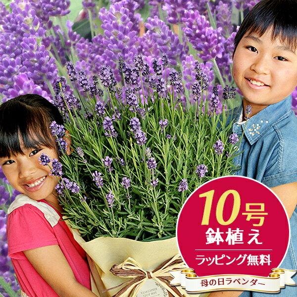 ラベンダー 10号サイズ 鉢花 鉢植え 母の日 早割 超ボリューム特大ラベンダー 送料無料 お母さんもビックリ 高さ70cmセンチ 花 母の日ギフト ハーブ 母の日プレゼント 早割り