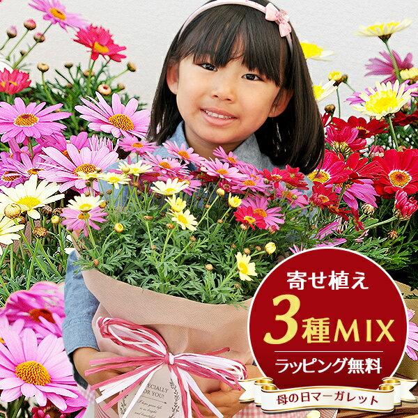 マーガレット 3色寄植え 6号サイズ 鉢花 鉢植え 母の日 早割 ボリューム満点 送料無料 カラフル ラッピング付き 高さ40cmセンチ 花 母の日ギフト 母の日プレゼント