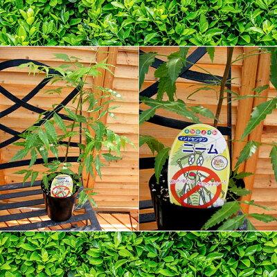 ミラクルニームは200種類の虫に!蚊にもハエにもゴキブリにミラクルニームの木4号鉢植えニームの木ミラクルニームニーム虫除けハーブ【楽ギフ_包装】販売通販