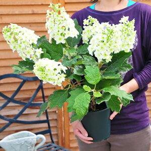 カシワバアジサイ5号 鉢植え アジサイ あじさい 鉢花 純白の花が豪華な八重咲き 販売 通販 種類
