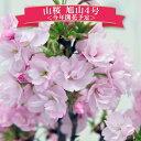 桜 サクラ 盆栽 山桜 旭山4号陶器鉢!お部屋で花見を♪あと数日程で 開花予定 サクラ 鉢花 鉢植え 盆栽 ピンクの桜 八…