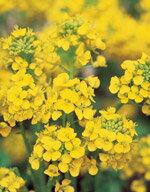 花の種オール15%引き!菜の花寒咲系混合サカタのタネ