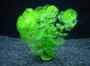 カボンバ[金魚藻]【鉛巻1束】〔水中葉〕【送料別】 品質最優先の方は宅配便をお勧めします。 《農場直送・初心者向き》水草/アクアリウム/アクアテラリウム/緑/おしゃれ/水草大卸/水草