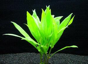 ボーグ・ハイグロ【鉛巻1束】〔水上葉〕【送料別】 品質最優先の方は宅配便をお勧めします。 《農場直送・初心者向き》水草/アクアリウム/アクアテラリウム/緑/おしゃれ/水草大卸/水草