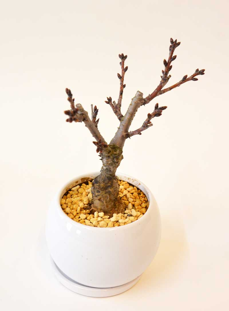 四季を楽しむミニ盆栽 一才桜 旭山 インテリアやギフトに【敬老の日 ギフト】【花恭】