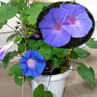 さわやかなブルーの琉球朝顔(あさがお)お中元・夏のギフトに 涼しげな青いアサガオはいかがですか? 予約受付中 【花恭】