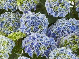アジサイ  キャンディハート ブルー 6号鉢【母の日ギフト】【送料無料】咲き始めなので長く楽しめる