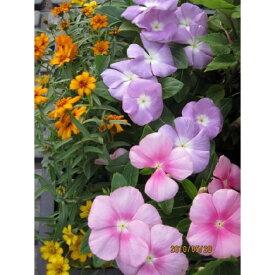 季節の花苗16個セット