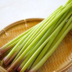 2021年信州天然山菜・やまぶき「太い」100g【ご予約受付中】朝採れ新鮮を直送/他の山菜と同梱可能ですクール便配送きゃらブキに向いています。ほろ苦さで季節感を感じます。/フキ